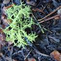 Wolf moss