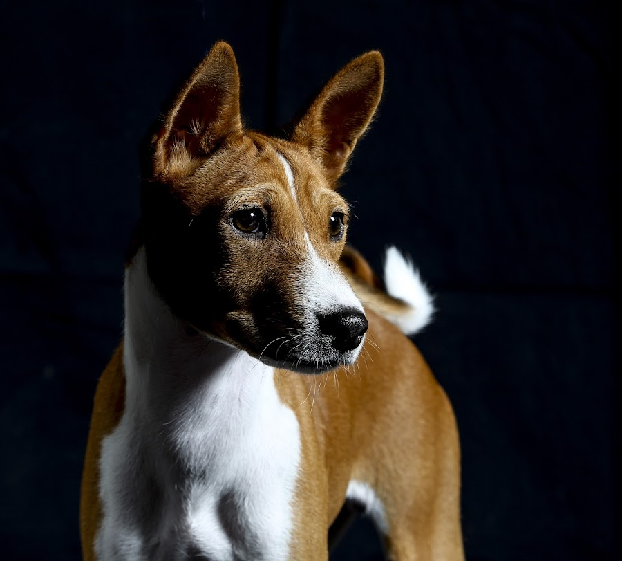 Basenji..  by Kirk Evans - Animals - Dogs Portraits