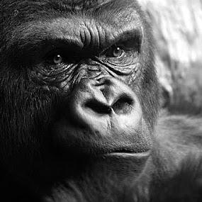 by Robert Daveant - Animals Other Mammals ( , animal, monkey )