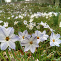 Spring Starflower
