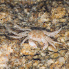 warty crab or yellow crab