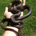 Eastern rat snake (black race)
