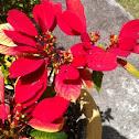 Poinsettia (Pascua)