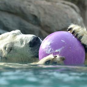 Treat time! by Carolyn Parks - Animals Other Mammals ( sea bear, polar bear )