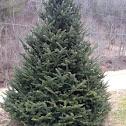 Frazier Fir (Christmas Tree)