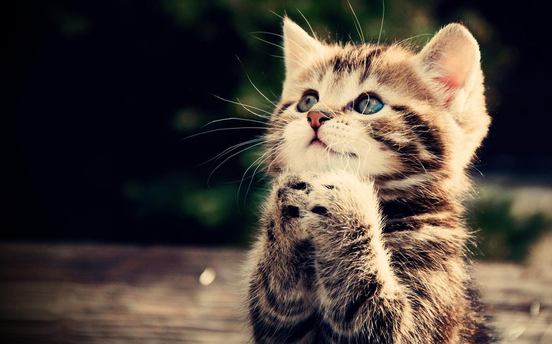 Google themes kittens - Cute Kitten Wallpaper Screenshot