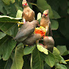 Red-faced Mousebirds