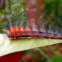 Messy Haired Caterpillar