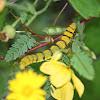 Cloudless Sulphur Butterfly Caterpillar
