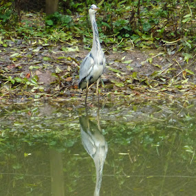 Heron by Keith Fussell - Animals Birds
