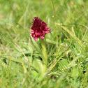 Orquídea alpina