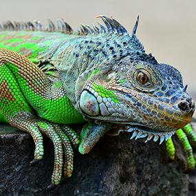 Igun2 by Sigit Purnomo - Animals Reptiles (  )
