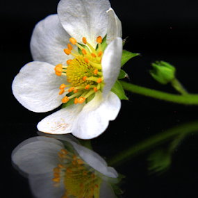 Flower Reflection by Phil Le Cren - Artistic Objects Still Life ( reflection, artistic, artistic object, object, flower reflection, flower )