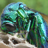 Large Cuckoo Wasp