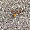 Red Ants VS Beetle