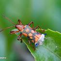 Leaf-miner Beetle