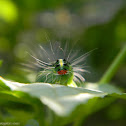 Transverse moth caterpillar