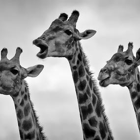 The three tenors by Fernando Alves Fotografia - Animals Other Mammals