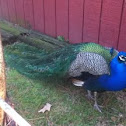 Indian Peafowl, Peacock