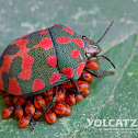 Spotted red bug