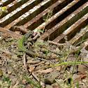Italian Wall Lizards