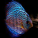 Discus Fish logo