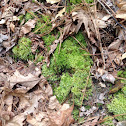The Delicate Fern Moss
