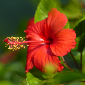 Red Hibiscus by Amit Gaur - Flowers Single Flower