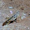 American Bird Grasshopper