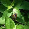 Cicada brood XIX
