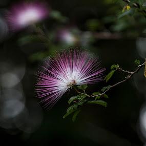 Common name: Red Powder Puff Botanical name: Calliandra haematocephala by Arun Prasanna - Flowers Flowers in the Wild