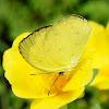 Grass Yellow