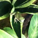 White's Tree Frog