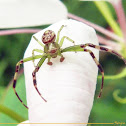 Green Crab Spider (Male)
