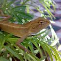 An Indian Chameleon ( एक भारतीय गिरगिट )