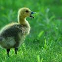 Canada Goose- Gosling