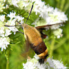 snowberry clearwing, bumblebee moth