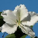 white orchid tree