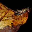 Kerangas bush frog