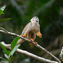 Mono ardilla (Common squirrel monkey)