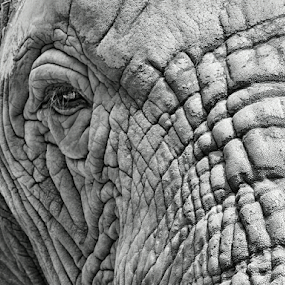 Ancient by Philip McKibbin - Black & White Animals ( wrinkles, beast, old, trunk, jungle, elephant, age, africa, large, eye, giant )