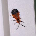 Net Winged Beetle