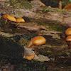 Autumn Skullcap