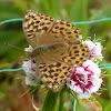 Silver-washed Fritillary (Female)