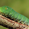 spice bush swallowtail caterpillar