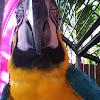 Golden blue macaw