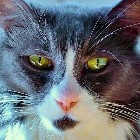 Pharaoh by Sona Decker - Animals - Cats Portraits (  )