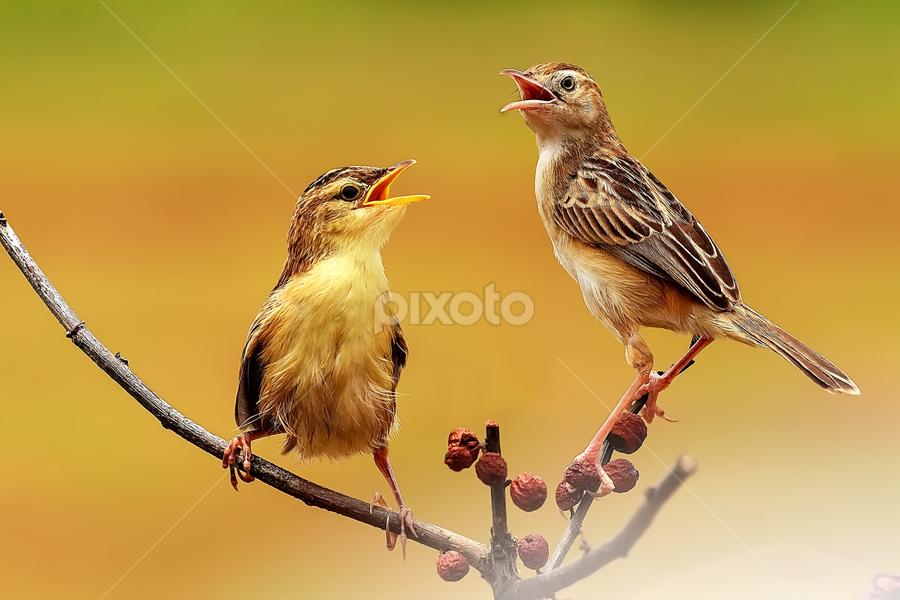 Duo Singers by Husada Loy - Animals Birds