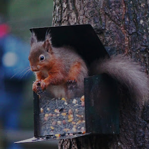 Red Squirrel 2013 ed.jpg