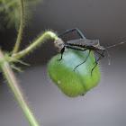 Citron bug (leaf-footed bug)